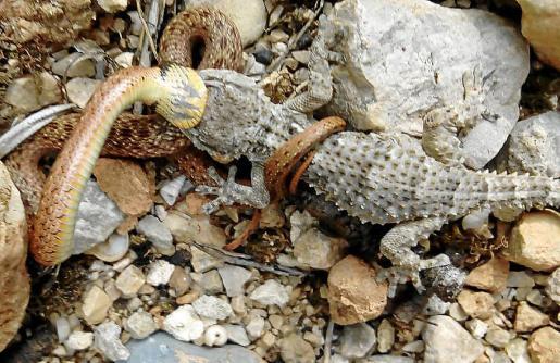 La imagen muestra cómo la serpiente tiene inmovilizado al 'dragó' y se lo empieza a tragar.