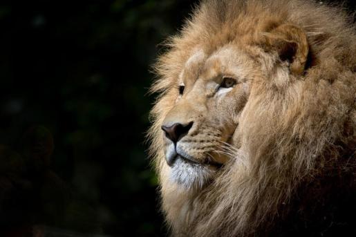 La Fundación para el Asesoramiento y Acción en Defensa de los Animales (FAADA) ha pedido a la Generalitat que decomise el león.
