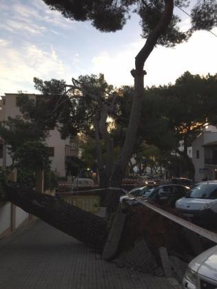 Imagen del pino caído en Palma.