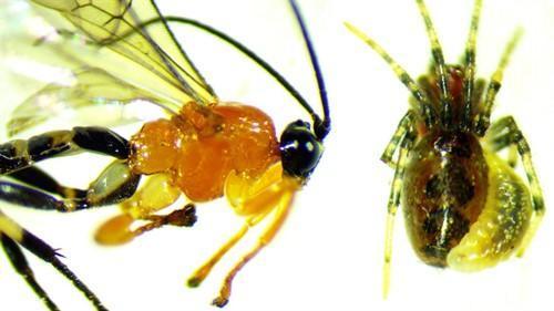Imagen de la avispa y el tipo de arañas que 'esclaviza'.