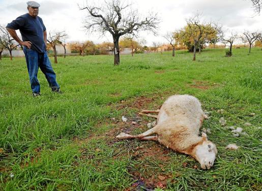 Ángel Galdón, muestra a una de las ovejas atacadas por un perro en el Camí de Son Ametler.