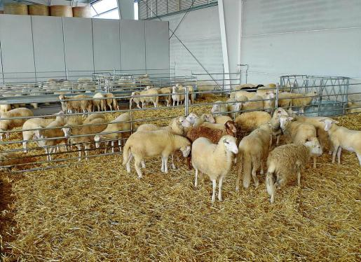 La cooperativa payesa de Pollença ha producido este año más de 10.000 corderos.