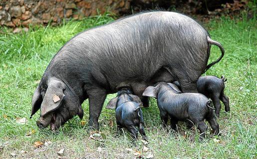 El 'porc negre' es una de las razas autóctonas de Baleares.