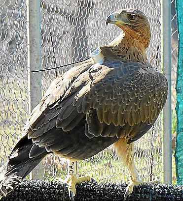 Un ejemplar de 'àguila coabarrada' liberado en Mallorca.