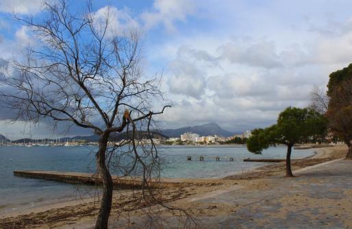 Vista de un árbol afectado por el viento en el Port de Pollença.