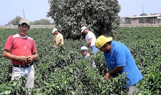 Imagen de archivo de temporeros colombianos en un campo mallorquín de hortalizas.