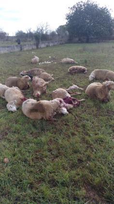 Los dos últimos ataques de perros a ovejas se han producido este viernes y sábado en fincas de Inca y Binissalem.