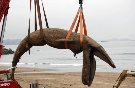 Un ejemplar de la especie rorcual común (Balaenoptera physalus), o ballena de aleta -el segundo más grande después de la ballena azul, de más de 16 metros y 22 toneladas, es retirado este lunes en la playa vizcaína de Sopelana.