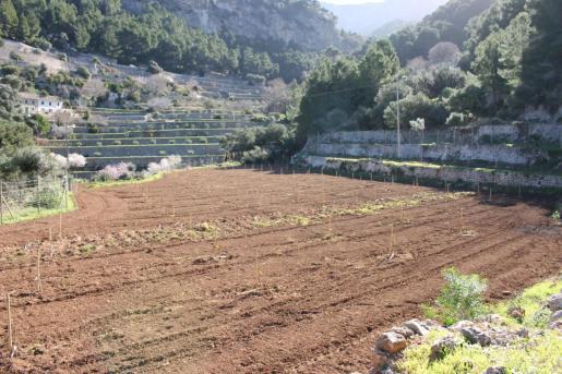 Imagen de la plantación de los cerezos en Planícia.