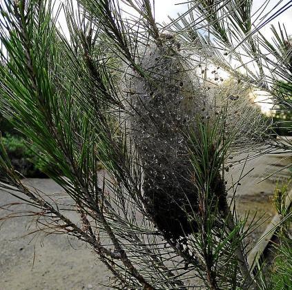 Bolsa de procesionaria en la rama de un pino de Mallorca.