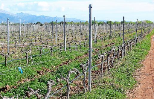 Las hectáreas de viña en producción aumentaron un 1,92% durante el pasado 2018.