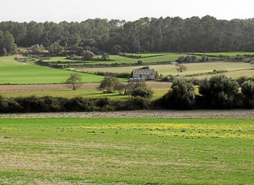El Pla de Mallorca es tradicionalmente tierra de cultivo extensivo de cereales. De momento, como se aprecia en la imagen, se ve muy escaso debido a la falta de precipitaciones.
