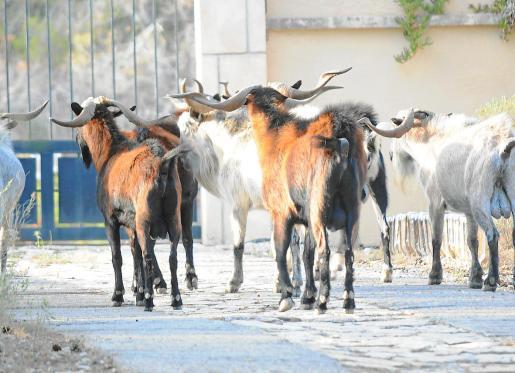 Joan Manera sostiene que «hay menos cabras alóctonas de lo que la gente cree». Dice el director insular que en las cotas altas de la Serra apenas existen y en los vedados las colonias están controladas.
