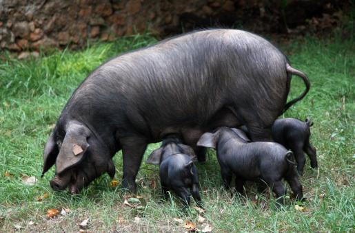Publican un estudio sobre las grasas del porc negre.