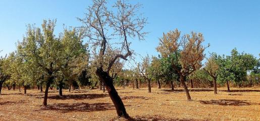 Las plantaciones de almendros son las más afectadas en la Isla, por lo que la expedición visitará explotaciones americanas.