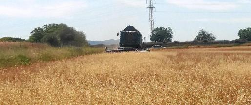 Imagen de recolección de cereales en Mallorca en el verano de 2016, cuya cosecha fue también escasa.