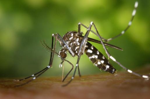 El mosquito tigre ya se ha establecido en la Europa mediterránea.