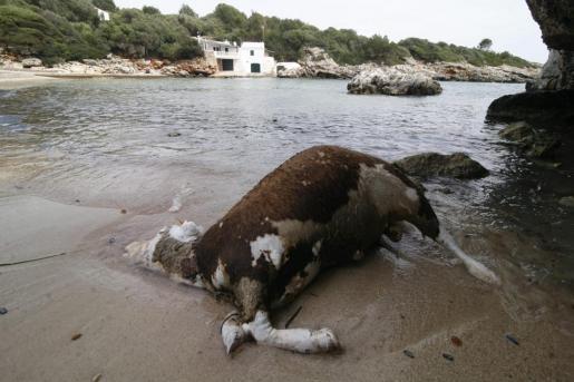 Segunda vaca muerta en Binissafúller.