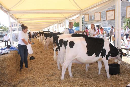 CAMPOS. Concurs de vaques