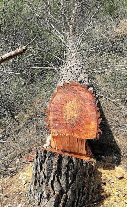El informe municipal levantado en el solar de Cala Falcó horas después de producirse la tala llega a cuantificar el derribo de hasta 98 pinos y de todos los tamaños.