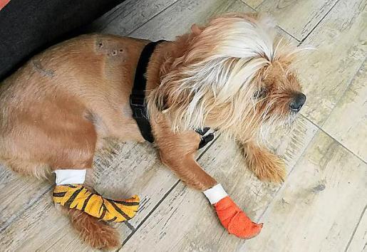 Imagen del perro herido por los dos pitbulls.