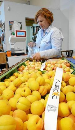 La Cooperativa de Porreres lidera la venta de albaricoques en Mallorca.