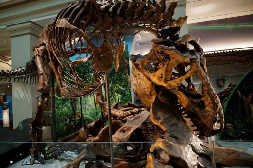 Vista de un esqueleto de un Tyrannosaurus rex en el laboratorio 'The David H. Koch Hall of Fossils-Deep Time' durante una presentación a la prensa.