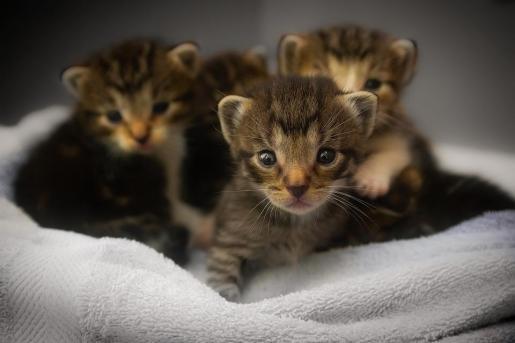 Son Reus ha registrado un descenso de las entradas de gatos vagabundos.