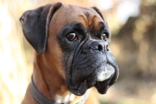 Imagen de un boxer, la misma raza de la perra que supuestamente ha sufrido maltrato animal.