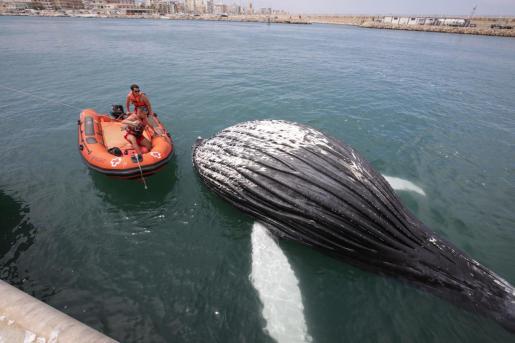 El cadáver de un cetáceo ha aparecido este sábado varado en la escollera que da acceso al puerto de Gandia.