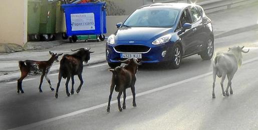 Los animales pasean tranquilamente por la carretera.