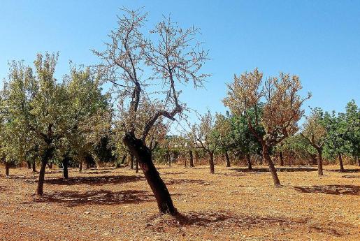 Las plantaciones de almendros son los más perjudicados por la plaga.