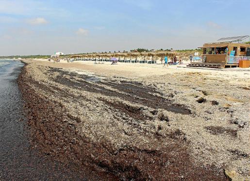 La playa de ses Covetes, en la zona de els Murters, presentaba este aspecto esta misma semana. Los responsables del chiringuito señalaron que hace 15 días el temporal trasladó las algas acumuladas en la playa de sa Ràpita hasta la zona de ses Covetes.