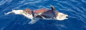 Hallan un delfín muerto cerca de Cala Mondragó