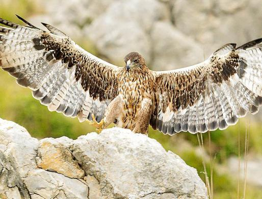 El águila de Bonelli, recuperada en Mallorca tras una ausencia de medio siglo.