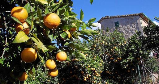 La producción de naranjas en esta campaña ha sido buena, pero no así sus precios y la falta de mercado local.