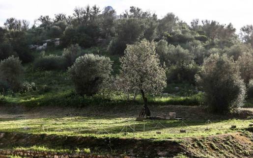 Imagen de un grupo de olivos en Puig des Molins, en Ibiza.