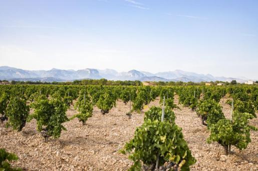La vendimia se inició el 13 de agosto, con las variedades más tempranas, Moscatel y Chardonnay.
