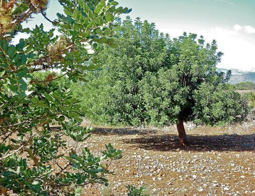 En el País Valencià, quien quiera vender algarrobas u otro producto agrario debe estar inscrito en el Registro General de la Producción Agraria.