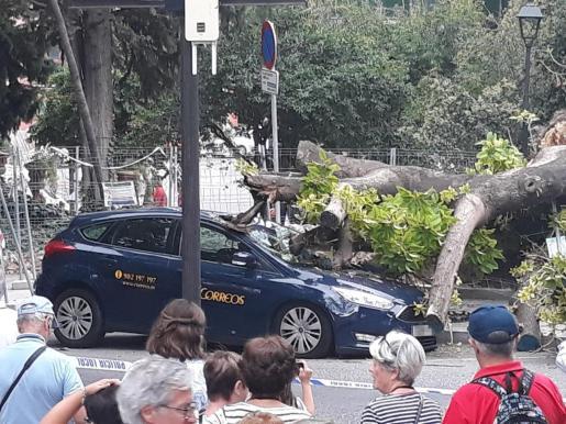 La bellasombra de la plaza de la Reina de Palma cayó la semana pasada y dañó un árbol.