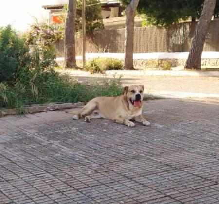 Imagen del perro que ha atacado a las dos persona en Portocolom.