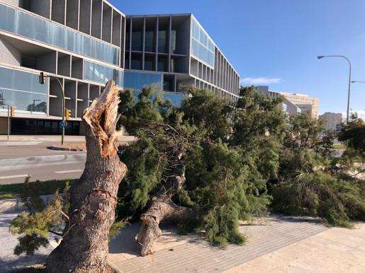 El fuerte viento partió este domingo un árbol en el paseo frente al Palacio de Congresos de Palma.
