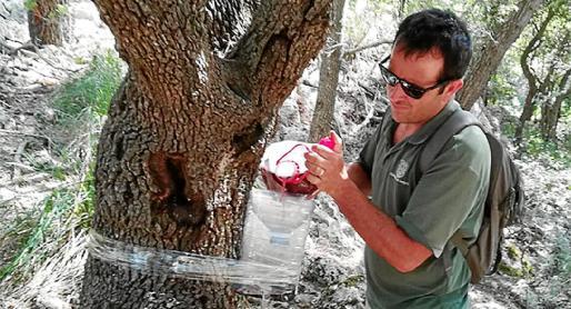 Imagen de un agente medioambiental preparando en el tronco de una encina una trampa para 'banyarriquers'.