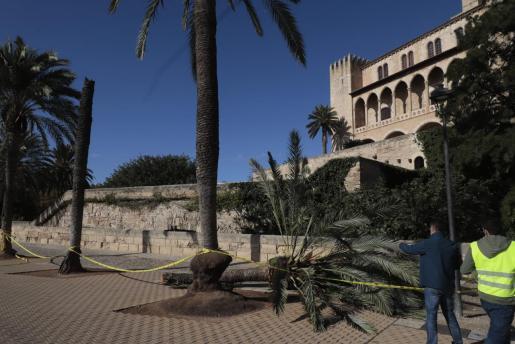 Esta es la palmera que se precipitó en un día de fuerte viento en Palma y ocasionó la muerte a una mujer brasileña.