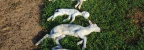 Denuncian el ataque de dos perros a un rebaño de ovejas en sa Casa Blanca de Palma