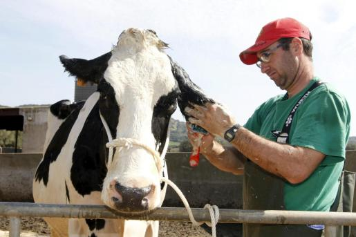 Imagen de archivo de una ganadería de vacas menorquina, la isla vecina contaba en 2018 con 137 explotaciones dedicadas a vacas de leche.