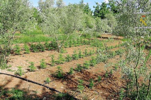La plantación de marihuana incautada contaba con un sistema de riego y estaba camuflada entre la arboleda.