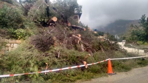 Imágenes de los pinos que han invadido la calzada en Valldemossa.