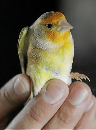 Uno de los pájaros híbridos, un resultado «perfecto».