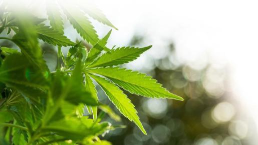 En Canadá se ha regularizado el consumo del cannabis, aunque los consumidores deben ser mayores de edad.